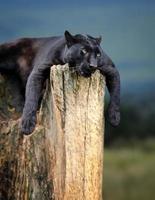 svart leopard foto