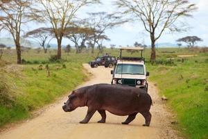 flodhästkorsning framför turist jeep foto