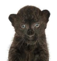 närbild av en svart leopardgröngöling, 3 veckor gammal, isolerad foto