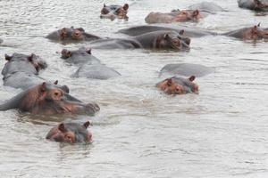 flodhästar i vattnet foto