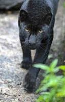 amur leopard foto