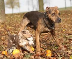 louisiana catahoula hund med bedårande valpar på hösten foto