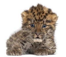 amur leopard cub, panthera pardus orientalis, 6 veckor gammal foto