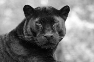 svart panter foto