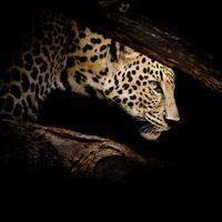 leopard porträtt foto