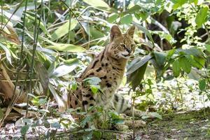 serval foto