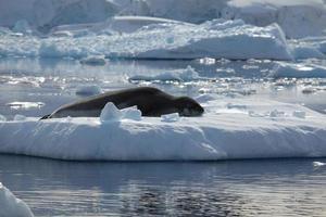 seeleopard in der antarktis foto