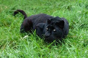 svart leopard som följer i långt gräs foto