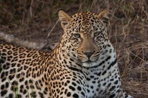 närbild av vilande manlig leopard foto