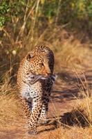 kvinnlig leopard foto