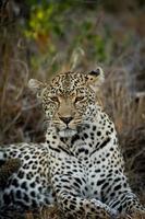 kvinnlig leopard vilar foto