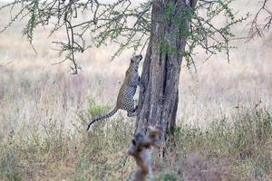 leopard (panthera pardus) foto