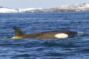kvinnlig orca eller späckhuggare flyter foto