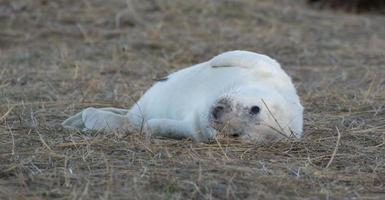 vit fluffig sälpopp vid Donna Nook foto