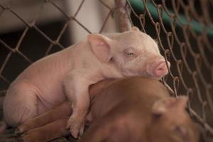 litet gris på gården foto