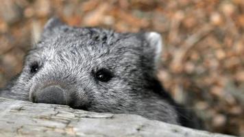 lömsk wombat som tittar över staketet foto