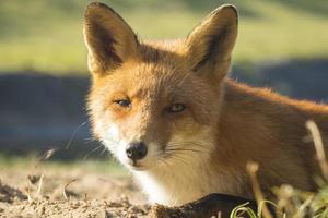 vilda röda räv höstfärger foto