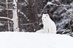 arktisk räv på vintern foto