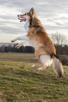 söt hund hoppar högt i en park foto