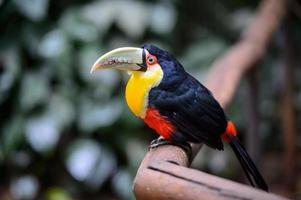 tukan, nationalpark iguazu, Brasilien foto