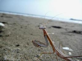 mantis på sandstranden foto