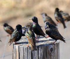 starling möte foto