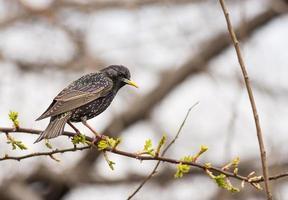 vanlig starling foto