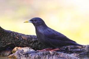 svart starling foto
