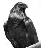 svart korp foto