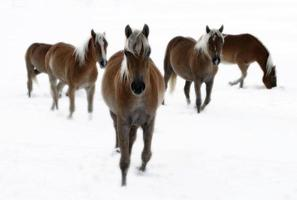 hästar utanför i snövinteren