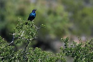 glansigt glansigt starling (lamprotornis nitens) foto