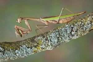 mantis äter tratt foto