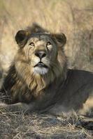 stora manliga lejon som tittar på dig foto