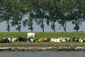 holländska kor foto