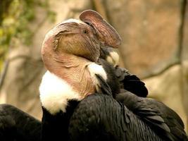 andean condor foto