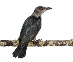 juvenil metallisk starling - aplonis metallica foto