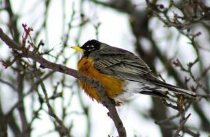 Robin på trädgren foto