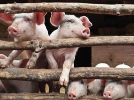nyfödda nyfikna grisar i en stall foto