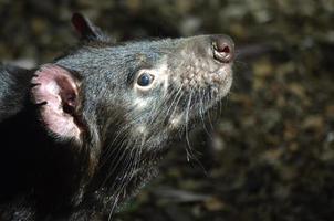 tasmansk djävul foto