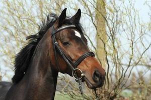 brun häst foto