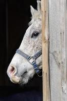 häst som tittar ut genom ladugårdsdörren, huvudskott foto