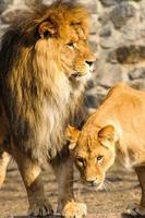 mäktiga lejon och lejoninna foto