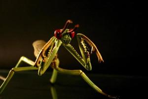 preying mantis foto