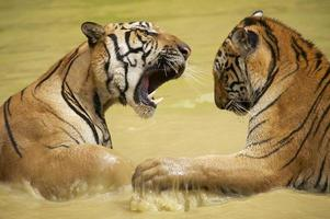 vuxna indokinesiska tigrar slåss i vattnet. foto