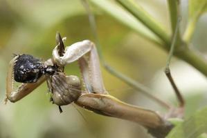 mantis rovar på ett bi foto