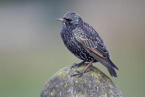 starling, sturnus vulgaris foto