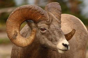 bighorn ram full curl foto