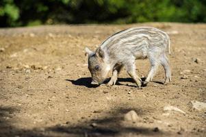 vildsvin i höstskog foto