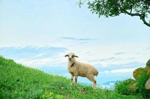 betande lamm i bergen