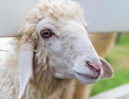 närbild fårens ansikte på gården foto